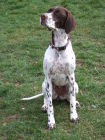 OLIVE (english pointer)