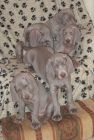"ALL FIVE ""SILVERCOTES"" PUPPIES"